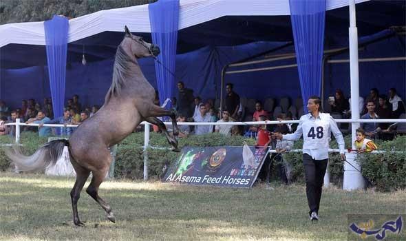 """جيفارا يفوز بالمركز الأول في مسابقة """"جمال الخيول العربية الأصيلة"""""""
