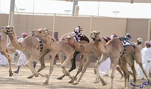 ختام المرحلة الأولى من السباق الخامس للهجن العربية